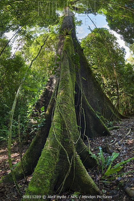 Huge Kapok tree (Ceiba pentandra), Osa Peninsula, Costa Rica.
