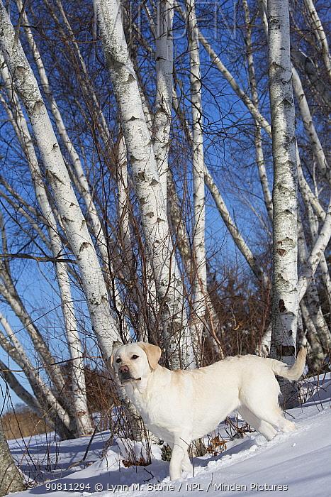 Domestic Yellow labrador retriever in fresh snow. Clinton, Connecticut, USA. January.