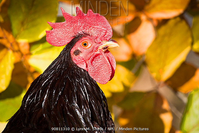 Head portrait of domestic Rhode island red rooster. Old Lyme, Connecticut, USA. November.