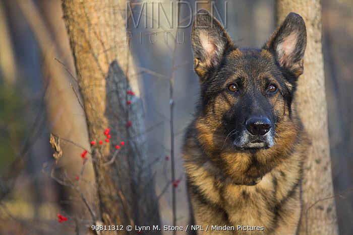 Head Portrait of domestic German shepherd dog in woods. Tolland, Connecticut, USA. December.