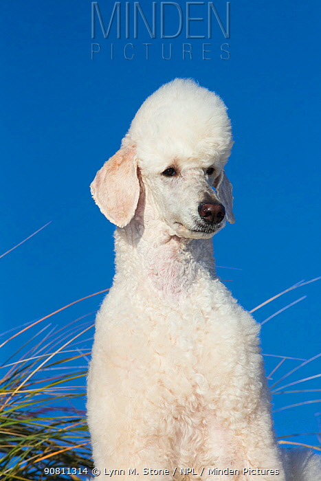 Head portrait of domestic Standard poodle on sand dune. Waterford, Connecticut, USA. December.