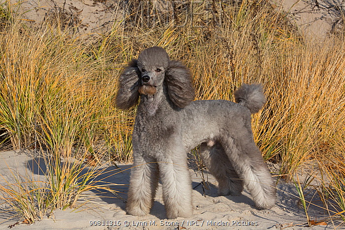 Domestic Standard poodle on sand dune. Waterford, Connecticut, USA. December.