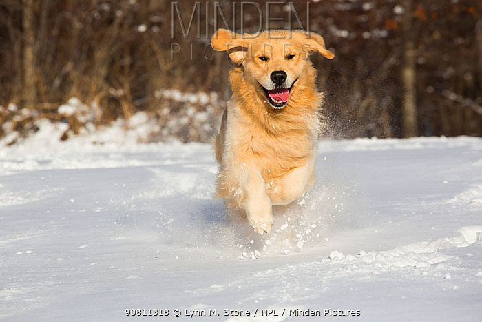 Domestic male Golden retriever running in snow. Franklin, Connecticut, USA. January.