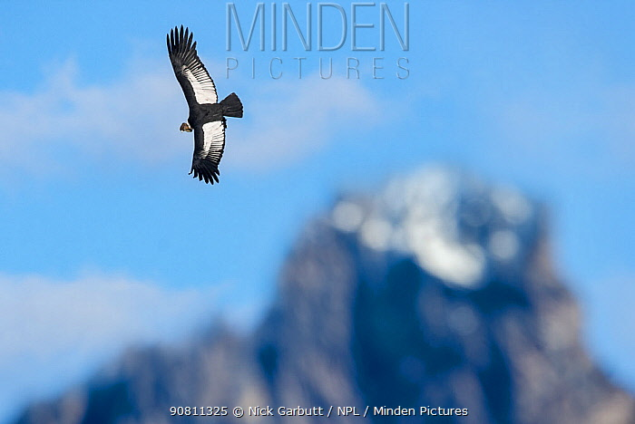 Andean condor (Vultur gryphus) flying over Torres del Paine Massif. Torres del Paine National Park, Chilean Patagonia, Chile. March.