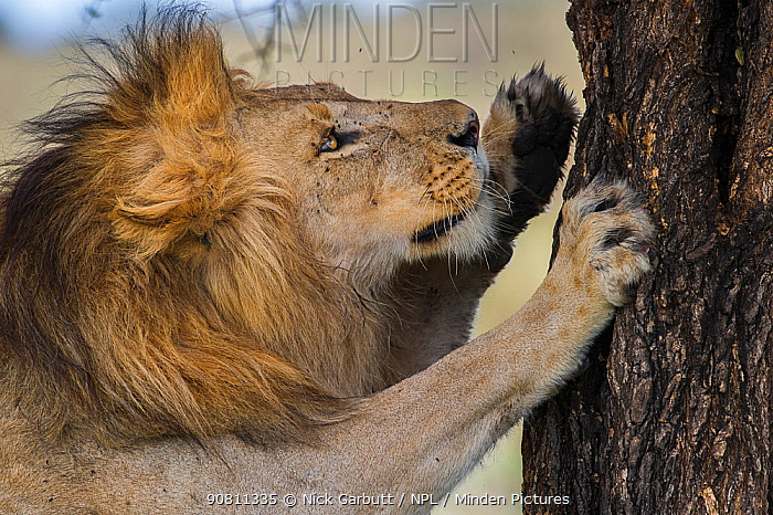 Male African lion (Panthera leo) scratching tree at Big Marsh, Nogorongoro Conservation Area / Serengeti National Park, Tanzania. March.