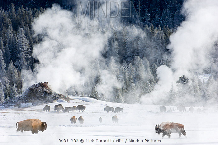 Herd of American Bison (Bison bison) around geo-thermal features. Firehole River Valley. Yellowstone National Park, Wyoming, USA. January 2008.