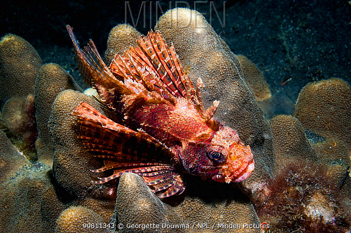 Shortfin lionfish (Dendrochirus brachypterus) perched on coral. Lembeh Strait, Sulawesi, Indonesia.