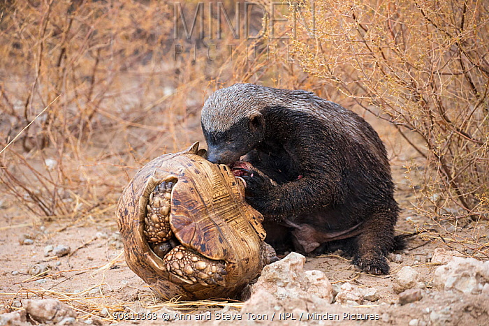 Honey Badger or ratel (Mellivora capensis) eating leopard tortoise (Geochelone pardalis), Kgalagadi Transfrontier Park, Northern Cape, South Africa, January.