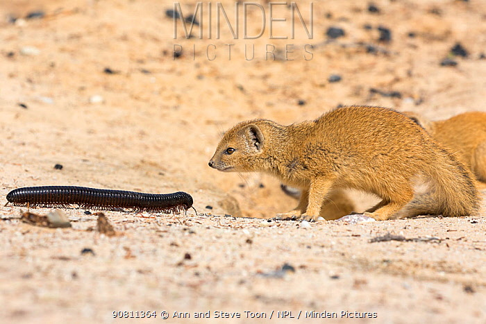 Young Yellow mongoose (Cynictis penicillata) investigating giant African millipede (Archispirostreptus gigas), Kgalagadi Transfrontier Park, Northern Cape, South Africa, January.