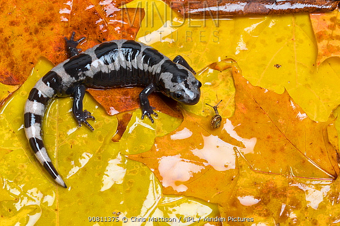 Marbled Salamander (Ambystoma opacum) with Brown lipped snail (Cepaea nemoralis) in leaves, captive from North America.