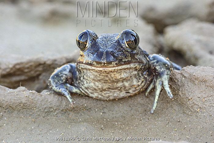 Head portrait of Western Spadefoot Toad (Pelobates cultripes) in the Algarve, Portugal. November.