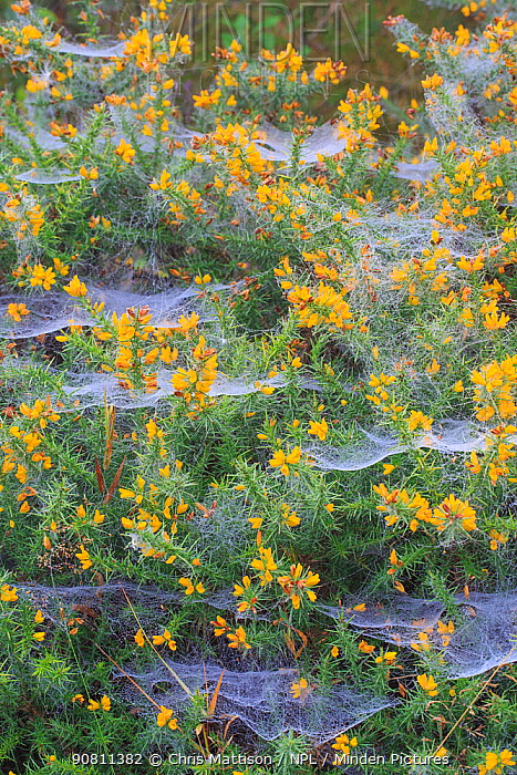 Spider webs covered in dew, on gorse (Ulex), October.