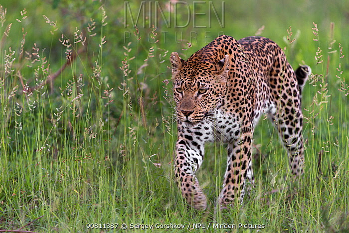 Leopard (Panthera pardus) stalking prey, Londolozi Private Game Reserve, Sabi Sands Game Reserve, South Africa.