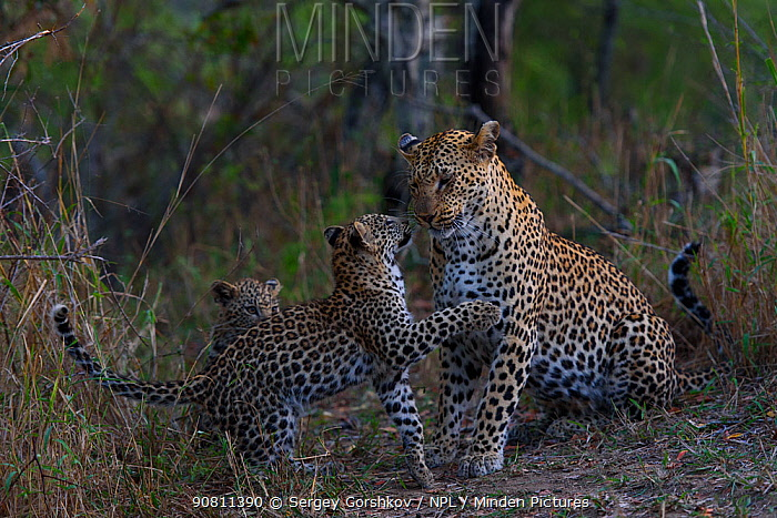Leopard (Panthera pardus) playing wither her cubs, Londolozi Private Game Reserve, Sabi Sands Game Reserve, South Africa.