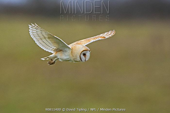 Barn owl (Tyto alba) hunting over meadow. North Norfolk, England, UK. March.