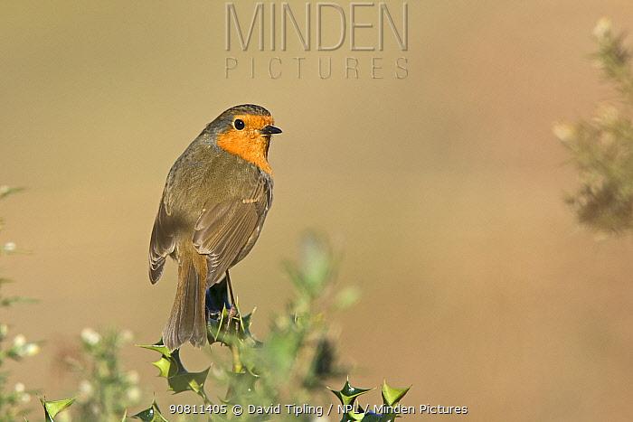 Robin (Erithacus rubecula) Norfolk, England, UK. March.