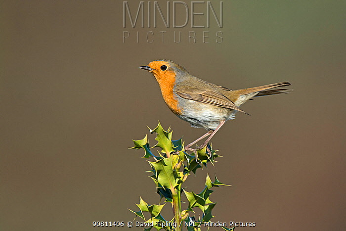 Robin (Erithacus rubecula) perched on holly. Norfolk, England, UK. March.