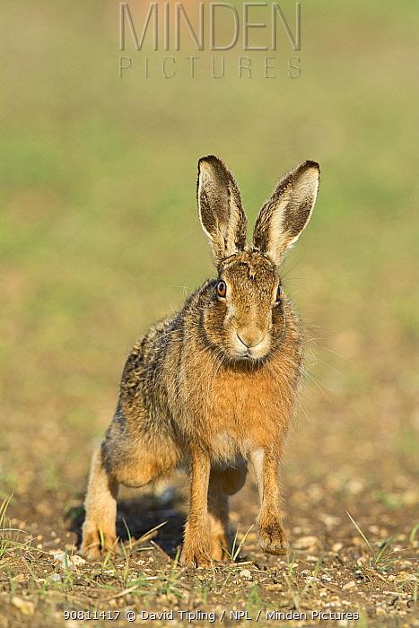 Brown hare (Lepus europaeus) portrait near Holt, Norfolk, England, UK. March.