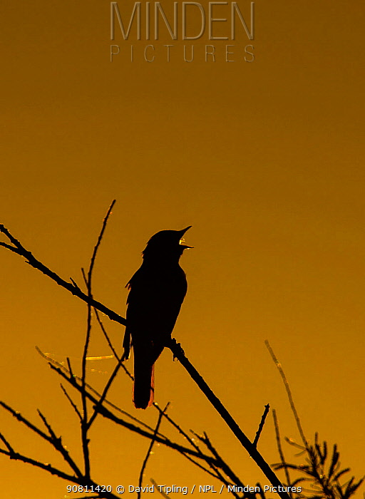Nightingale (Luscinia megarhynchos) in song, silhouetted, Camargue, Provence, France. May.