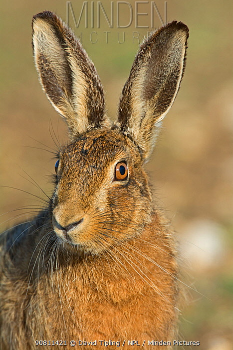 Head portrait of Brown hare (Lepus europaeus) near Holt, Norfolk, England, UK. March.
