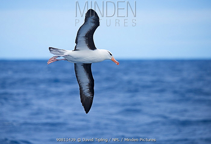 Black-browed albatross (Thalassarche melanophris) in flight, South Atlantic, South Georgia, January.