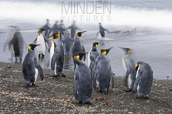 King penguins (Aptenodytes patagonicus) entering sea. Salisbury Plain, South Georgia. January.