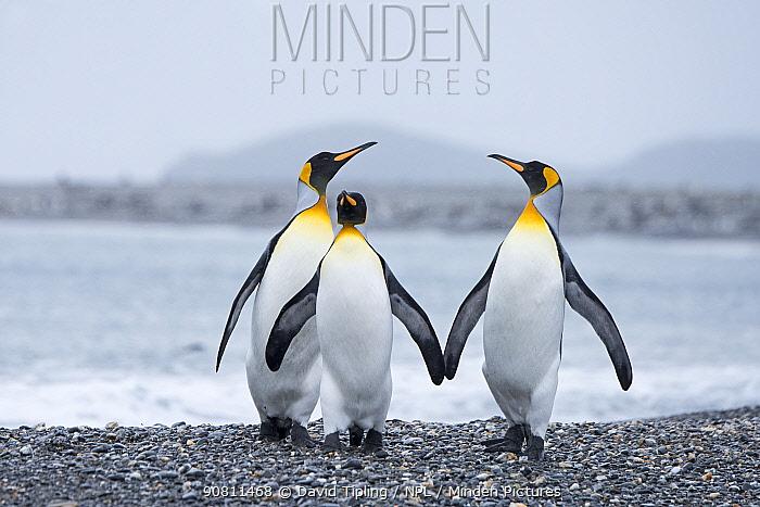 King penguin (Aptenodytes patagonicus) group of three. Salisbury Plain, South Georgia. January.