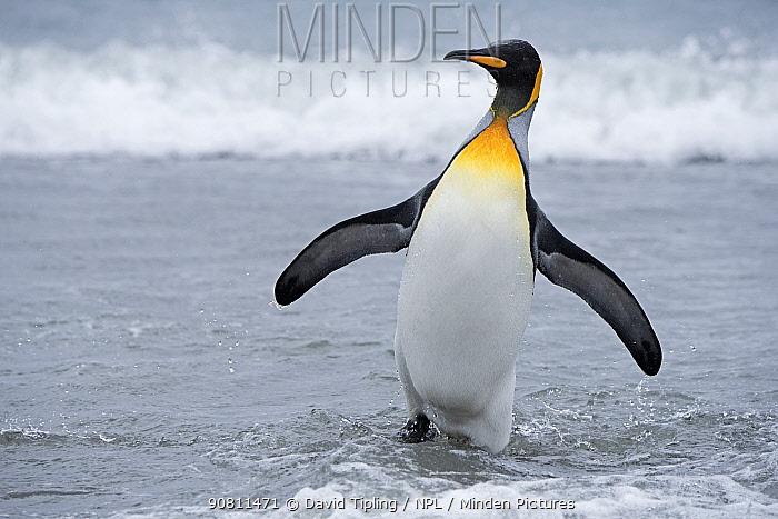 King penguin (Aptenodytes patagonicus) at waters edge. Salisbury Plain, South Georgia. January.