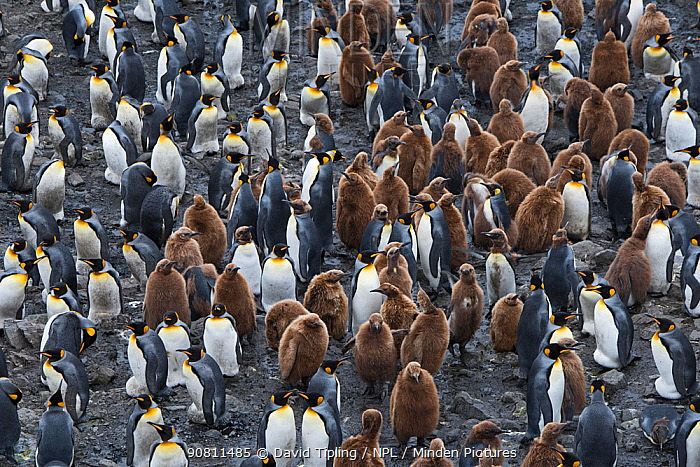 King penguin (Aptenodytes patagonicus) colony with chicks. Salisbury Plain, South Georgia. January.