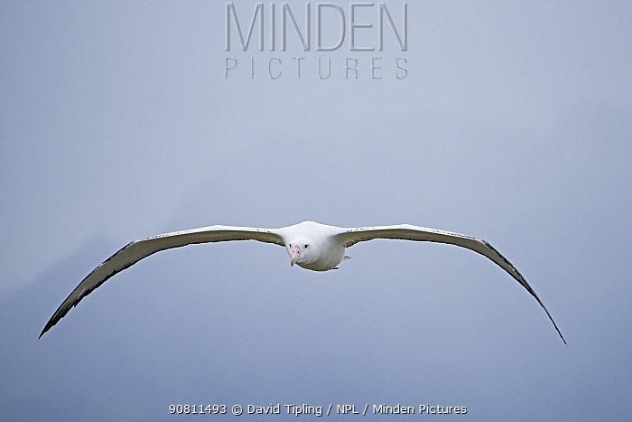 Wandering albatross (Diomedea exulans) in flight. Albatross Island, South Georgia. January.