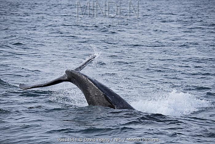 Humpback Whale (Megaptera novaeangliae) tail slapping. Weddell Point, South Georgia. January.