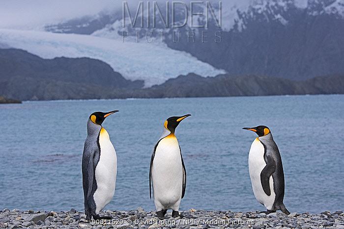 King penguins (Aptenodytes patagonicus) standing on beach by sea. Holmestrand, South Georgia. January 2015.