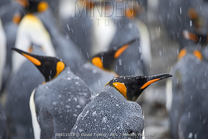 King penguins (Aptenodytes patagonicus) in snow. Holmestrand, South Georgia. January.