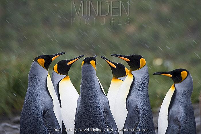 King penguins (Aptenodytes patagonicus) in group. Holmestrand, South Georgia. January.