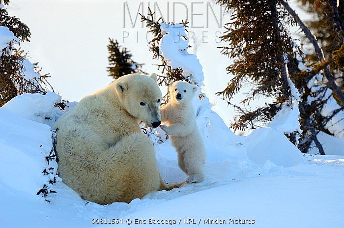 Polar bear (Ursus maritimus) mother with cub aged 3 months at den. Wapusk National Park, Churchill, Manitoba, Canada.