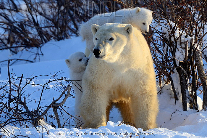 Polar bear (Ursus maritimus) mother with two cubs aged 3 months, playing near den. Wapusk National Park, Manitoba, Canada.