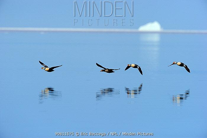King eider duck (Somateria spectabilis) flying over water. Floe edge, Arctic Bay, Nunavut, Canada.