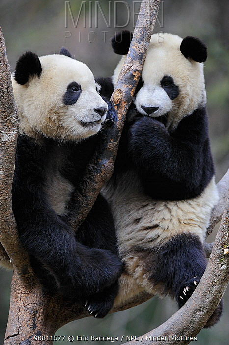 Two subadult Giant pandas (Ailuropoda melanoleuca) climbing in tree. Wolong Nature Reserve, Wenchuan, Sichuan Province, China. Captive.