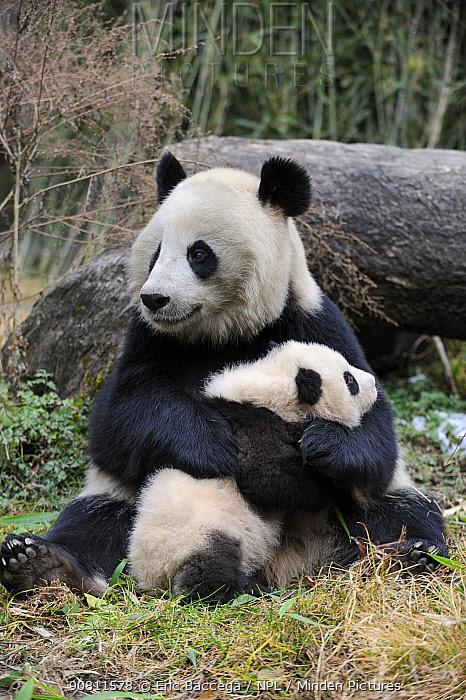 Giant panda (Ailuropoda melanoleuca) mother and cub. Wolong Nature Reserve, Wenchuan, Sichuan Province, China. Captive.