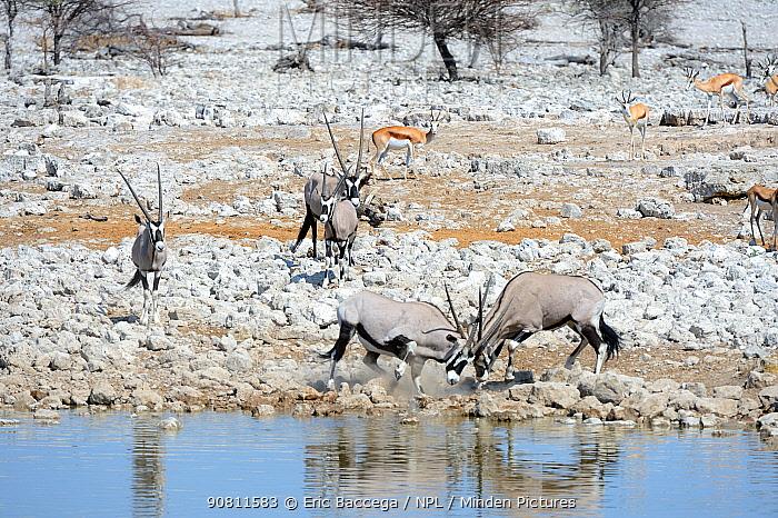 Gemsbock (Oryx gazella) males fighting at waterhole in dry season. Etosha National Park, Namibia, Africa. October.