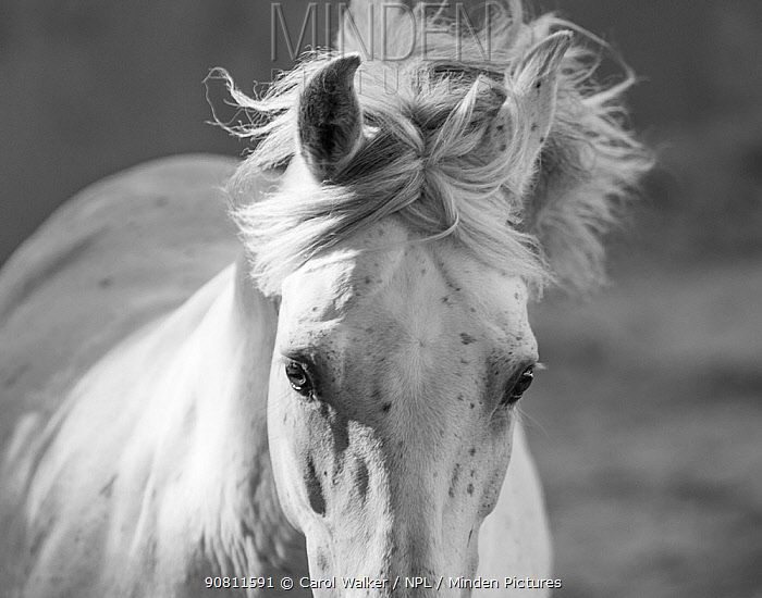 Head and mane of grey Andalusian stallion running in bullfighting arena, Southern Spain, Europe.