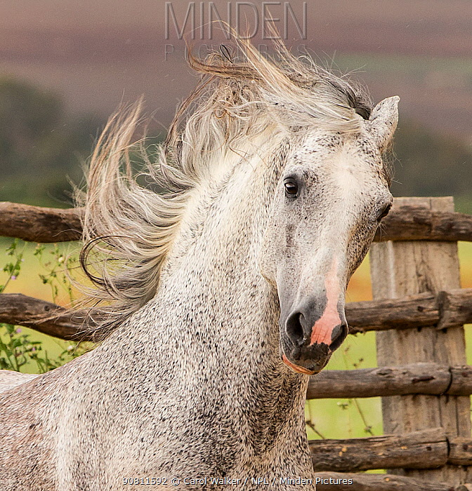Head portrait of grey Andalusian stallion running in pasture with windswept mane, Southern Spain. April.