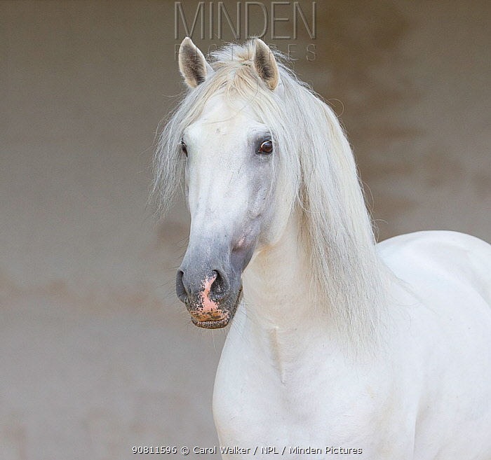 Head portrait of grey Andalusian stallion standing quietly in arena, Northern France, Europe.