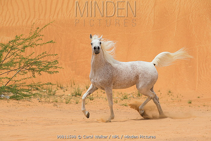 Grey Arabain stallion trotting in desert dunes near Dubai, United Arab Emirates.