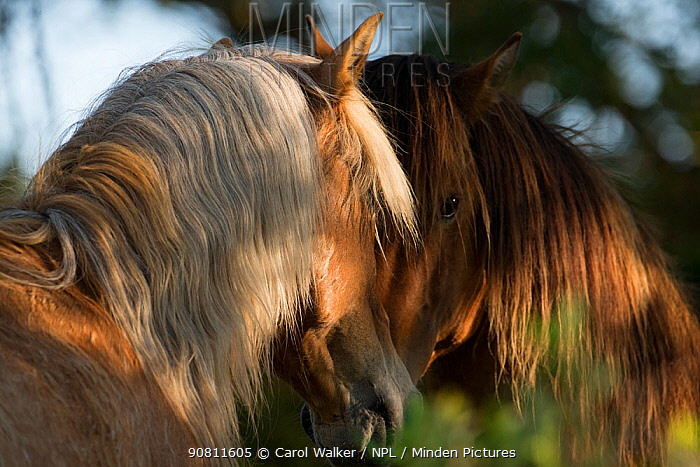 Two wild Mustang stallions meeting in trees, Carrott Island, South Carolina, USA.