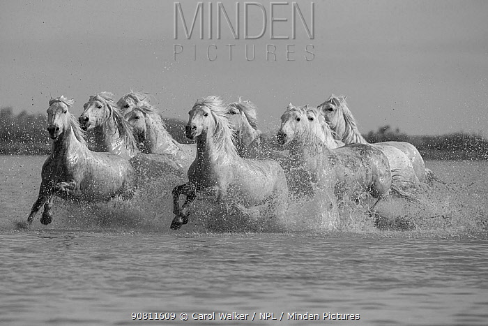 Nine white Camargue horses running through water, Camargue, France, Europe. May.