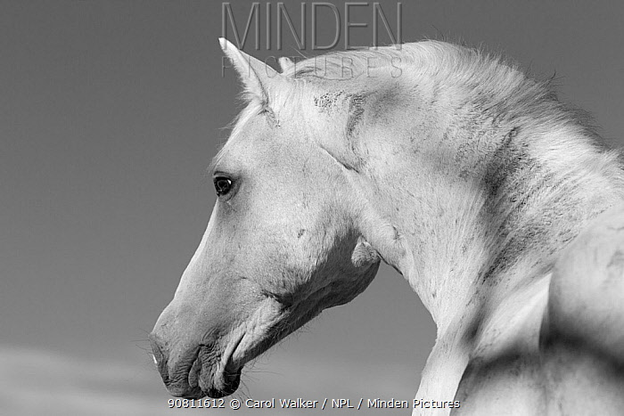 Head portrait of wild Mustang stallion in profile, Pryor Mountains, Montana, USA.