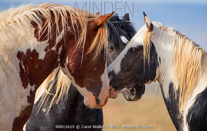 Three wild Mustang bachelor stallions, head portrait of two pinto and one black meeting at waterhole, McCullough Peaks, Wyoming, USA. June.
