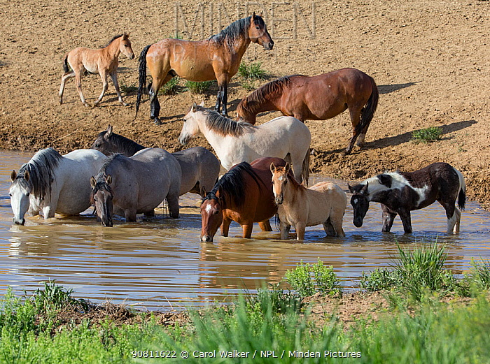 Wild Mustang stallion and family at waterhole in Sand Wash Basin, Colorado, USA. June.
