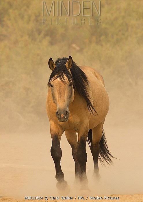 Wild buckskin Mustang stallion walking towards waterhole on dusty dry summer day, Sand Wash Basin, Colorado, USA. August.
